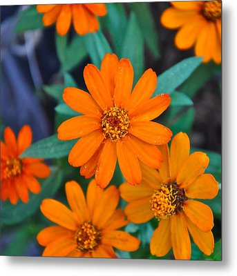 Orange Flowers Metal Print by Lori Kesten