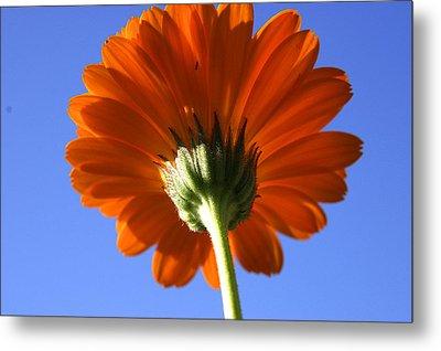 Orange Gerbera Flower Metal Print by Ralph A  Ledergerber-Photography