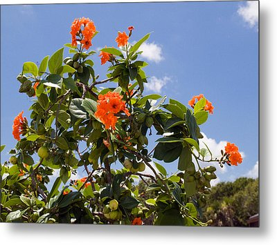 Orange Hibiscus With Fruit On The Indian River In Florida Metal Print by Allan  Hughes