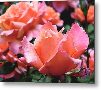 Orange-pink Roses  Metal Print by Rona Black