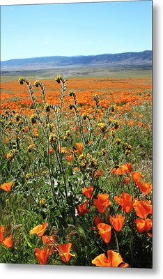 Orange Poppies And Fiddleneck- Art By Linda Woods Metal Print