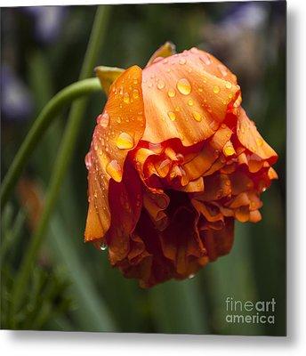 Orange Ranunculus With Water Drops - Sq Metal Print by Mandy Judson