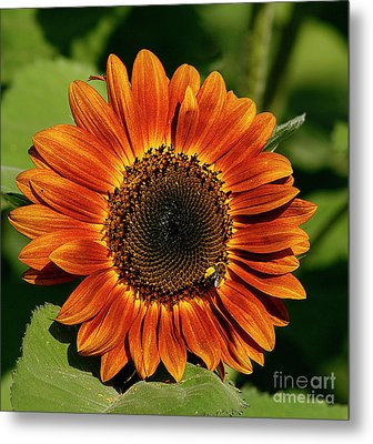 Orange Sunflower Metal Print