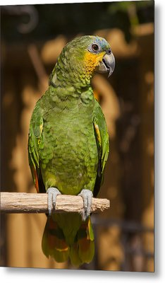 Orange-winged Amazon Parrot Metal Print by Adam Romanowicz