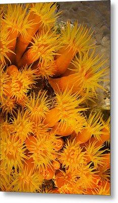 Orangecup Coral Metal Print by Dave Fleetham - Printscapes