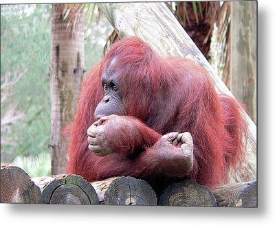 Orangutang Contemplating Metal Print