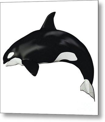 Orca Female Whale Metal Print