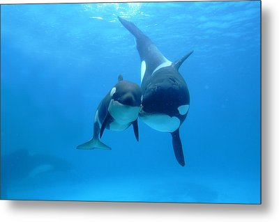 Orca Orcinus Orca Mother And Newborn Metal Print