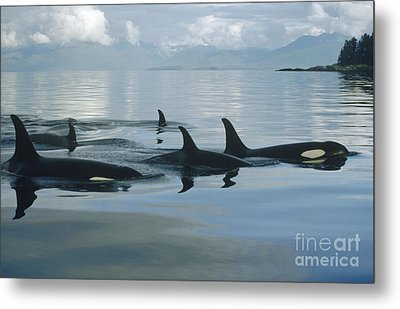 Orca Pod Johnstone Strait Canada Metal Print by Flip Nicklin