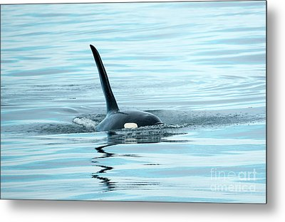 Orca Reflections Metal Print by Mike Dawson