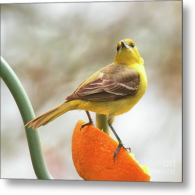 Metal Print featuring the photograph Orchard Oriole by Debbie Stahre