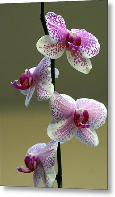 Orchid 16 Metal Print by Marty Koch