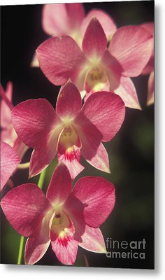 Orchid Flowers Metal Print by Kyle Rothenborg - Printscapes