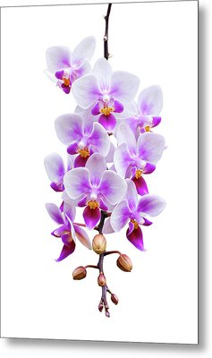 Orchid Metal Print by Meirion Matthias