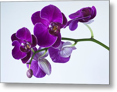Orchid No. 2 Metal Print by Harry H Hicklin