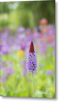 Orchid Primrose Flower Metal Print