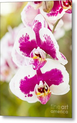 Orchid Wings Metal Print by A New Focus Photography