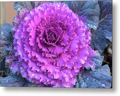 Ornamental Cabbage Closeup Metal Print