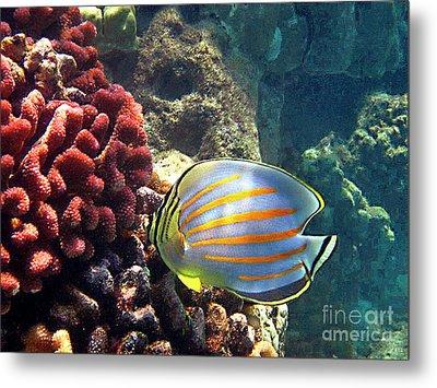 Ornate Butterflyfish On The Reef Metal Print by Bette Phelan