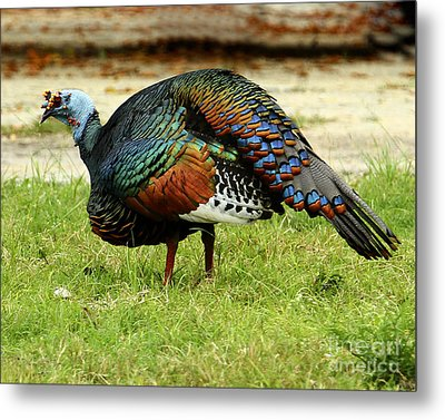 Oscillated Turkey Metal Print