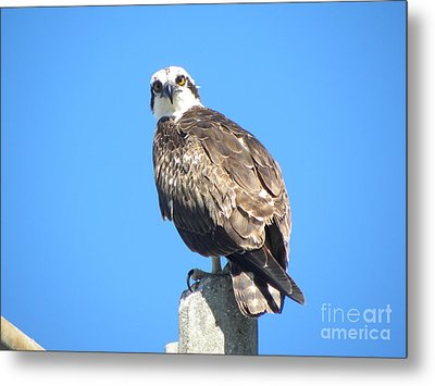 Metal Print featuring the photograph Osprey 1 by Terri Mills