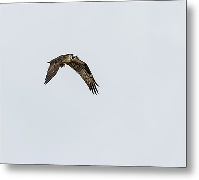Metal Print featuring the photograph Osprey 2017-2 by Thomas Young