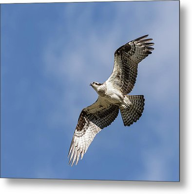 Metal Print featuring the photograph Osprey 2017-3 by Thomas Young