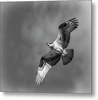 Osprey 2017-4 Metal Print by Thomas Young