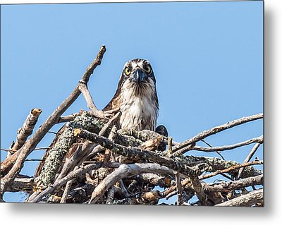 Osprey Eyes Metal Print by Paul Freidlund