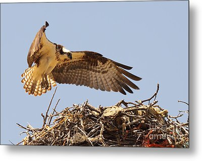 Osprey Hovering Above Nest Metal Print by Max Allen