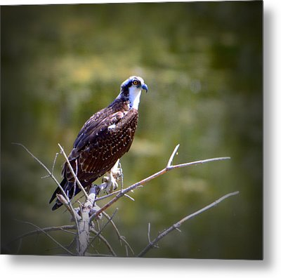 Osprey In Wait Metal Print
