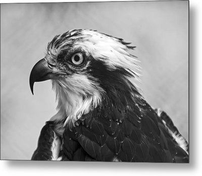 Osprey Monochrome Portrait Metal Print by Chris Flees