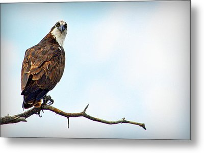 Metal Print featuring the photograph Osprey Out On A Limb by AJ Schibig