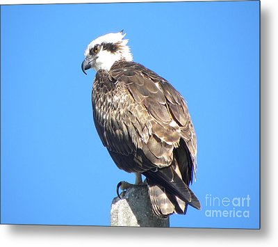 Metal Print featuring the photograph Osprey by Terri Mills