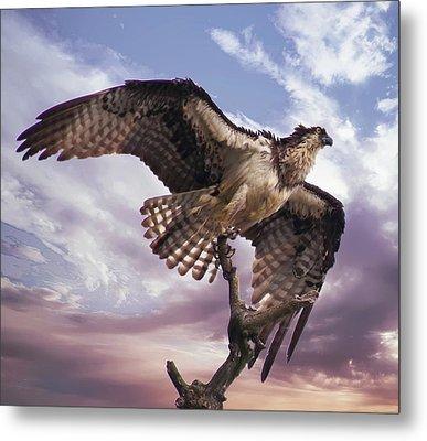 Osprey Wing Metal Print