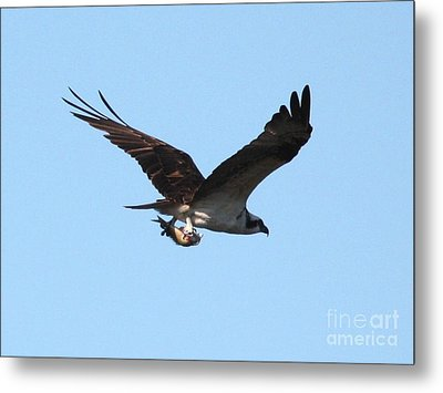 Osprey With Fish Metal Print by Carol Groenen