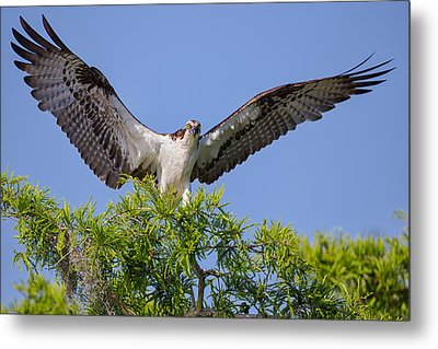 Osprey With Wide-open Wings Metal Print
