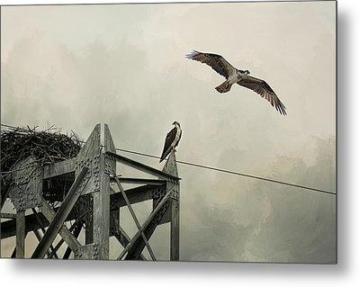 Ospreys At Pickwick Metal Print by Jai Johnson