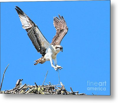 Ospreys Learning To Fly Metal Print by Debbie Stahre