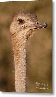 Ostrich Head Metal Print by Andy Smy