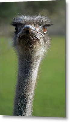 Ostrich What A Face Metal Print by Laura Mountainspring