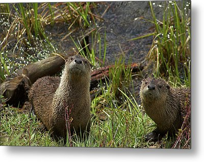 Otters Metal Print by Steve Stuller