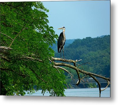 Out On A Limb Metal Print by Donald C Morgan