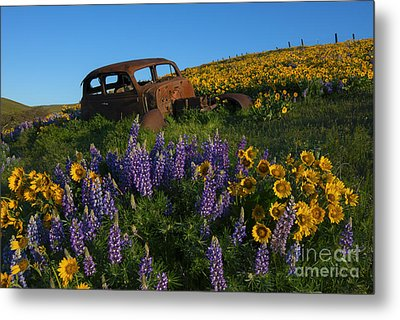 Out To Pasture Metal Print by Mike Dawson
