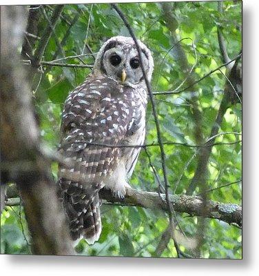 Owl On A Limb Metal Print by Donald C Morgan