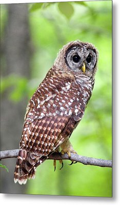 Owl On The Prowl Metal Print by Timothy McIntyre