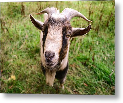 Oxford Goat Metal Print
