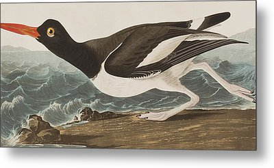 Oyster Catcher Metal Print by John James Audubon