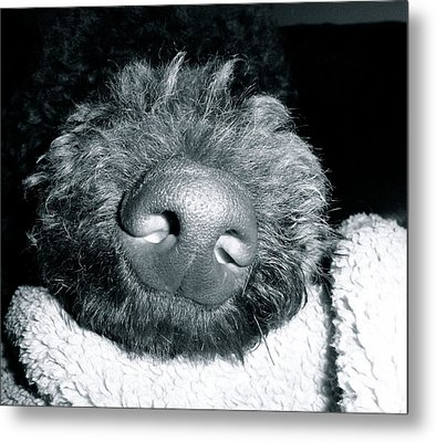 Bodhi Nose Metal Print by Gallery Messina