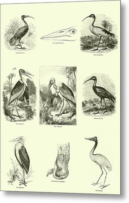 Page From The Pictorial Museum Of Animated Nature  Metal Print by English School